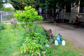 My neighbor's lime leaf tree in the front yard of our building