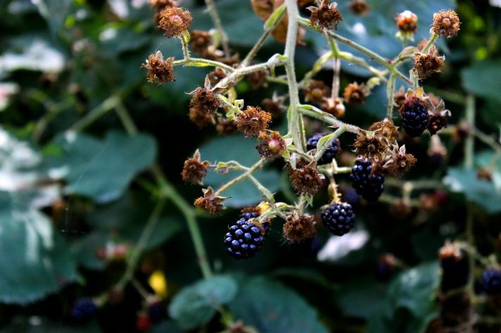Gabriola Island Blackberries