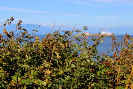 Salted seaside blackberries on Gabriola Island